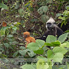 White-headed Langur 19d