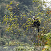 White-headed Langur 19a