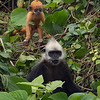 White-headed Langur 19g