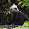 White-headed Langur