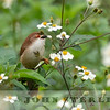Yellow-eyed Babbler 19a