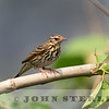 Olive-backed Pipit 19a
