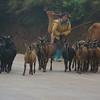 Herding Livestock, Rice Terrace Road