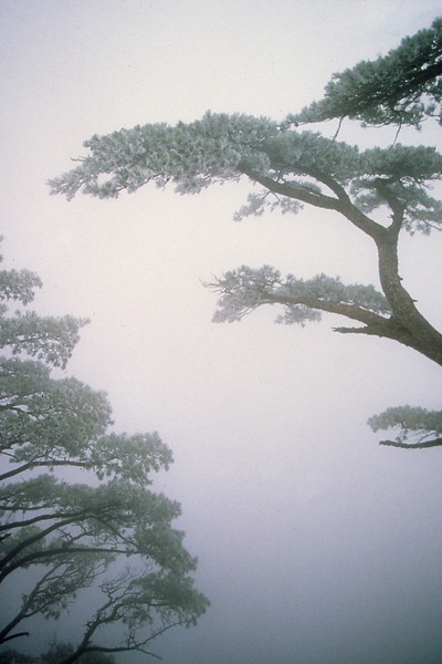 Huangshan trees, cliff, Anhui Province