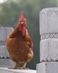 Rooster, Yang Shuo, China