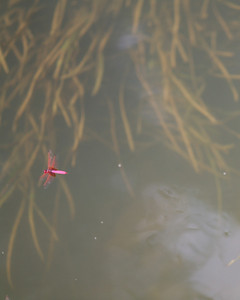 Purple Dragonfly, Yang Shuo, China
