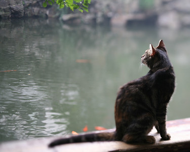 Cat and Koi, Yu Garden, Shanghai, China