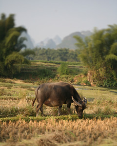 Water Buffalo, Yang Shuo, China