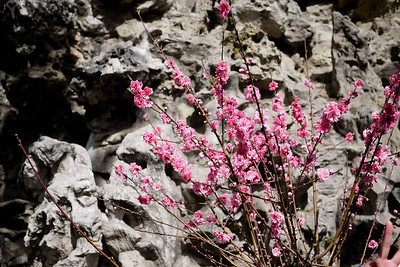 The cherry blossoms were just starting to bloom against the rock garden at the Forbidden City in Beijing, China.