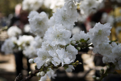 White flowers blooming at the Forbidden City in Beijing, China.