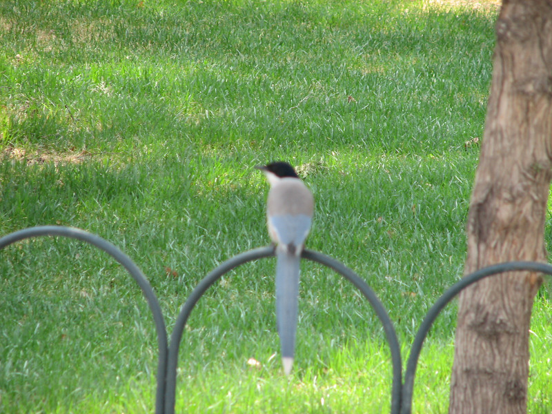 Pretty, if out-of-focus, bird; these were all over the place in Tian Tan Park and other green areas in Beijing.