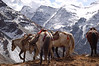 China, Sichuan, Songpan: Horses head back down the trail.