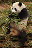 China, Sichuan, Chengdu: Panda eating morning meal.
