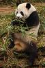 China, Sichuan, Chengdu: Panda eating morning meal.