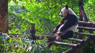 Pandas at the  Chengdu Research Base of Giant Panda Breeding
