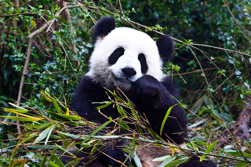 things to do in China, visit the pandas