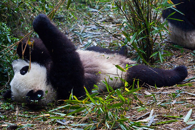 Chengdu-Panda-Breeding-Center-6