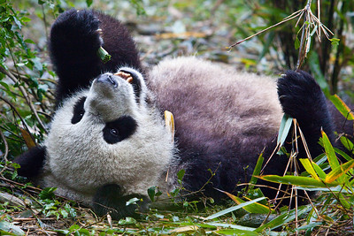 Chengdu-Panda-Breeding-Center-5