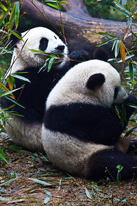 Chengdu-Panda-Breeding-Center-7