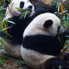 Chengdu-Panda Breeding Center :