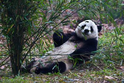Chengdu-Panda-Breeding-Center-2