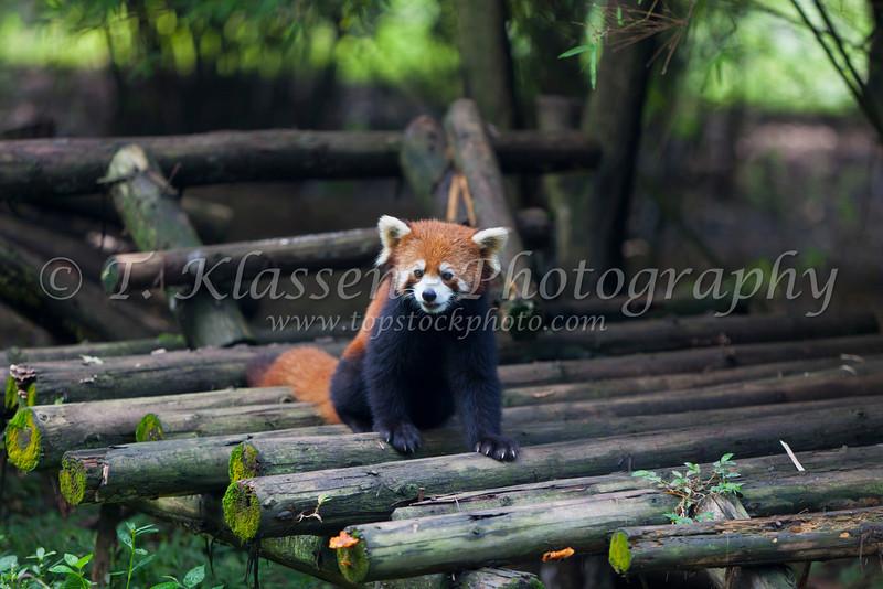 A red panda at the Chengdu Panda breeding and research facility.