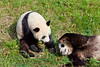 Giant pandas at the Chengdu breeding and research facility.