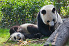Giant panda at the Chengdu breeding and research facility.
