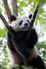 A Giant Panda sleeping in a tree at the Chengdu breeding and research facility.