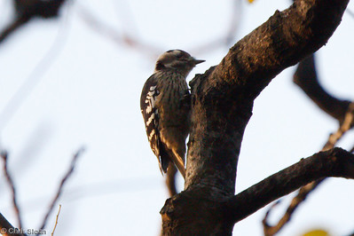 Grey-capped Pygmy-Woodpecker at Xingqinggong Park at Xian, China (10-22-2009)