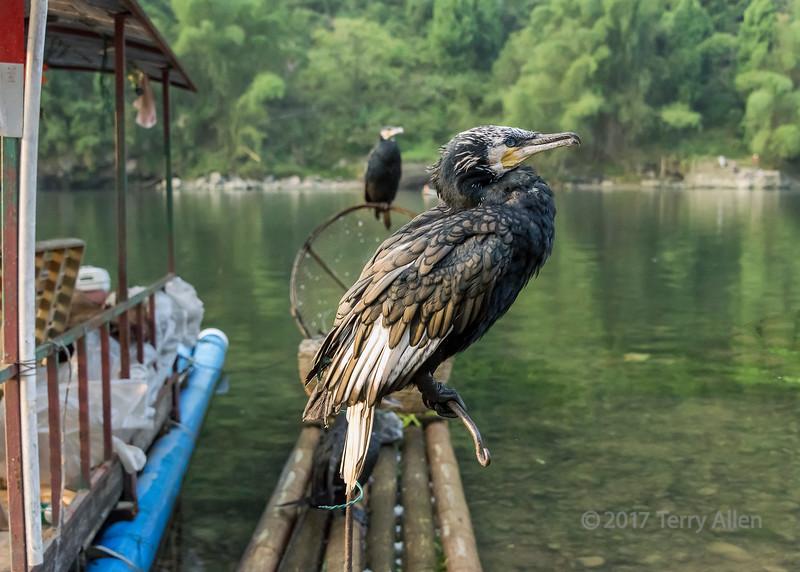 Pair of fishing cormorants on a bamboo raft, Li River, Xingping, Guangxi Province, China