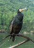 Portrait of a fishing cormorant, Li River, Xingping, Guangshi Province, China