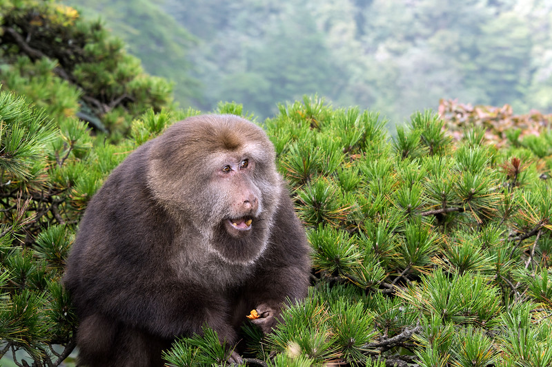 Stump-tailed macaque, Huangshan National Park, China