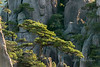 Huangshan pines (Pinus hwangshanensis) clinging to the granite cliffs, Huangshan National Park, Anhui, China