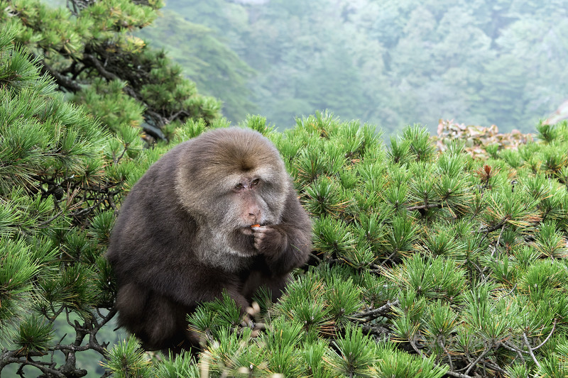 Dominant male short-tailed macaque sitting at the top of a Huangshan pine tree, Huangshan National Park, Anhui, China