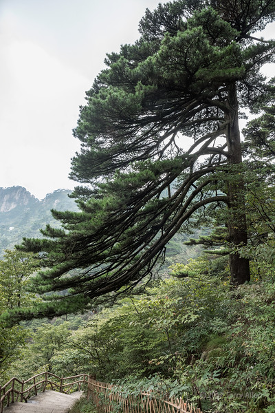 Wind-shaped pine tree and staircase, Huangshan National Park, Anhui, China