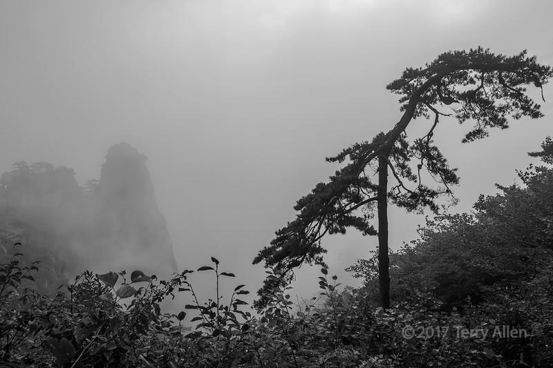 Windblown Huangshan pine in the mists, Huangshan, Anhui, China