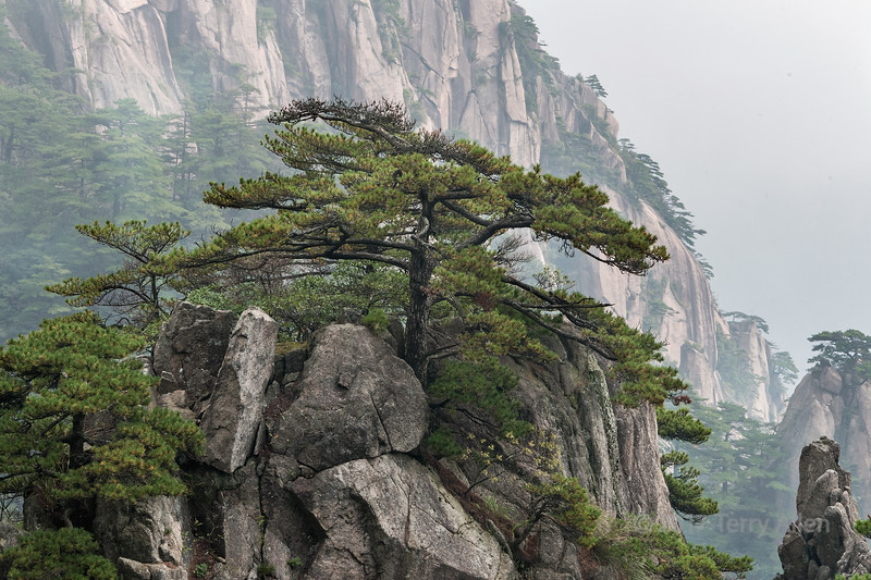 Huangshan pines (Pinus hwangshanensis) and granite cliffs, Huangshan Mountains, China
