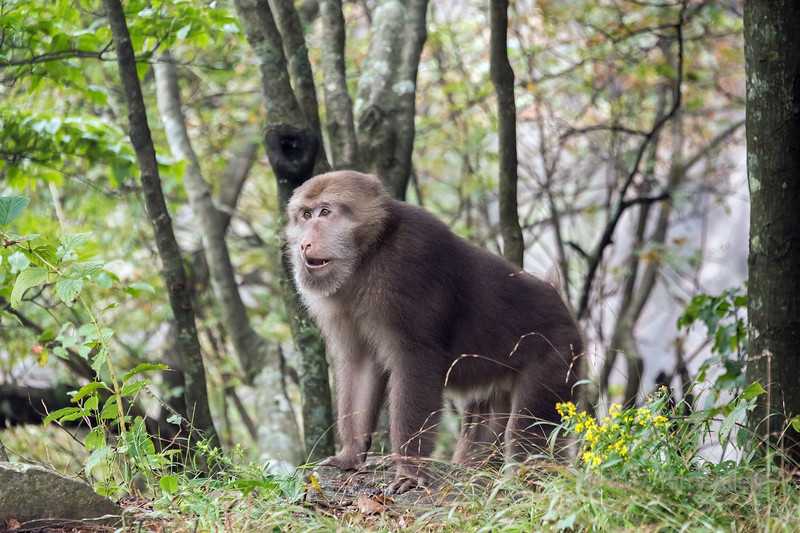 Female stump-tailed macaque (Macaca tibetana) in the trees, Huangshan National Park, Anhui, China