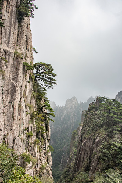Clinging to the vertical rock face, Huangshan pines, Huangshan National Park, Anhui, China