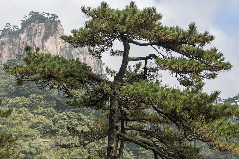 Huangshan pine (Pinus hwangshanensis) in the Yellow Mountains (Huangshan Mountains), China