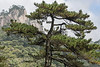 Huangshan pine (Pinus hwangshanensis) in the Yellow Mountains (Huangshan Mountains), China