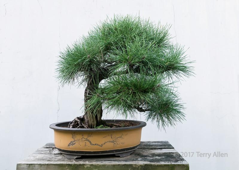 Long needle pine bonsai, Bao Family Garden, Tangyue, Shesxian, Anhui, China