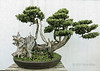 Ancient pine bonsai