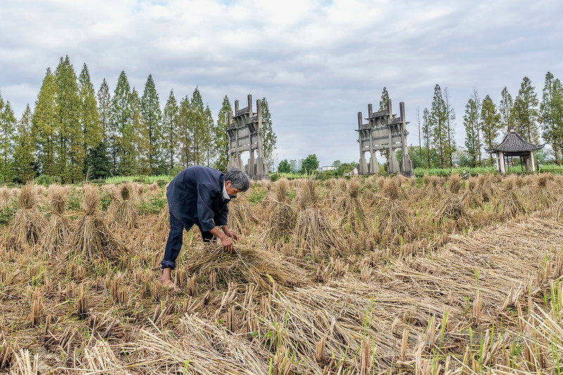 Farmer harvesting rice sheaves with Memorial Arches in backgrouond, Tanque, China