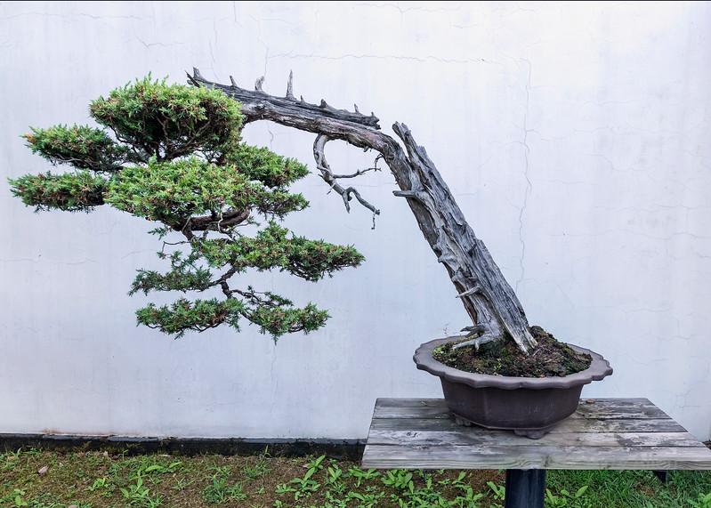 Old bonsai pine tree, Bao Family Garden, Shexian, China