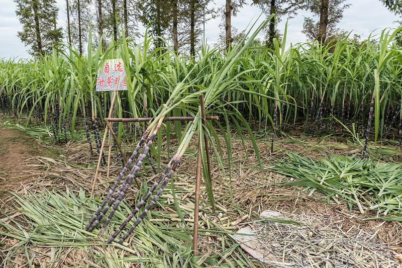 Sugar cane growing near the Memorial Archways, Tanque, Shenxian county, Anhui, China