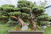 Ancient Qing Dynasty bonsai pine tree approx 162 years old, Bao Family Garden, Shexian, China