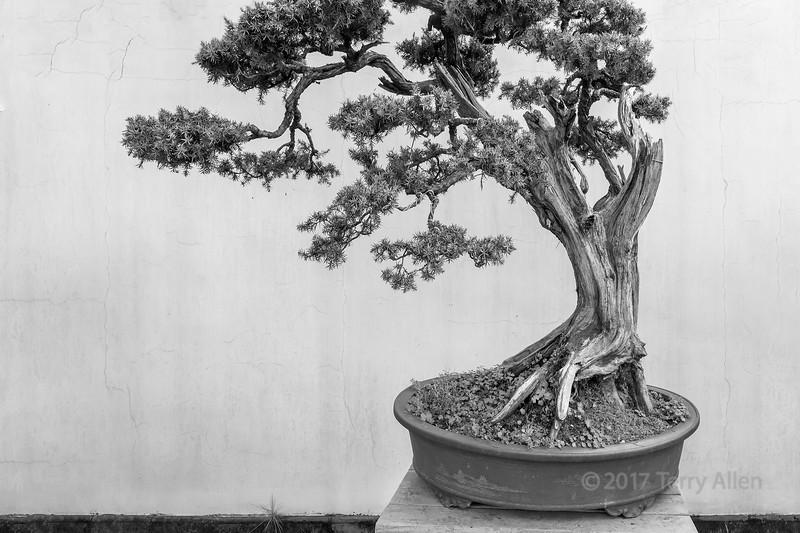 Old bonsai pine tree, BW, Bao Family Garden, Shexian, China
