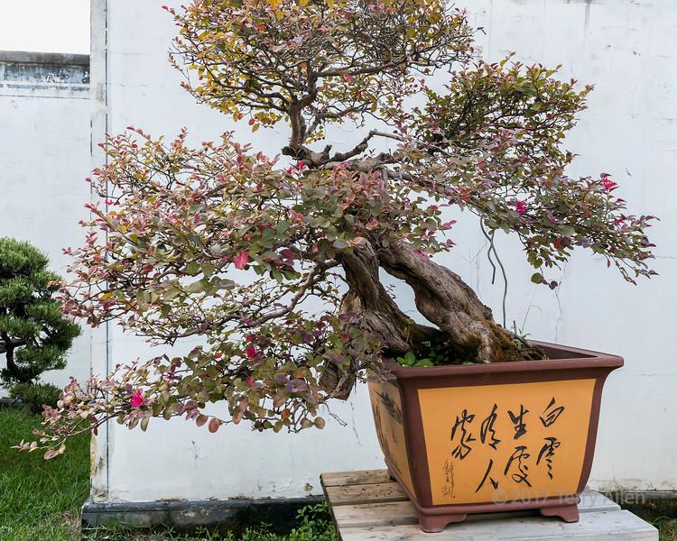 Flowering bonsai tree, Bao Family Garden, Shexian, Anhui, China